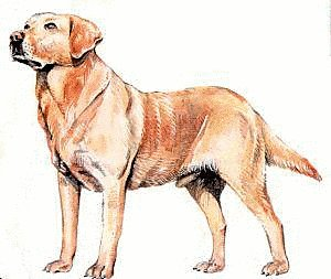 Labrador-Retriever .