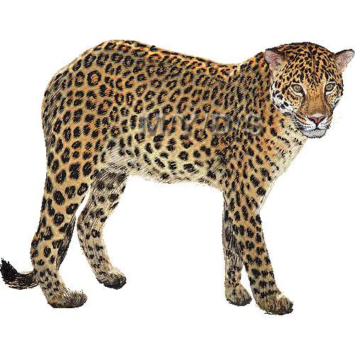 Leopard clipart graphics