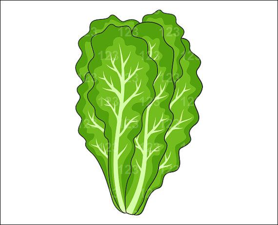 Lettuce Clip Art & Look At Clip Art Images - ClipartLook