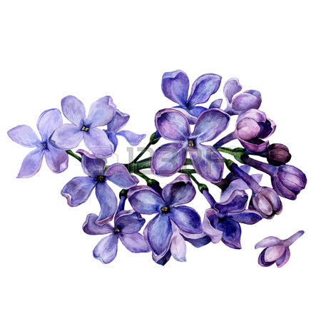 watercolor lilac flowers isolated on white background