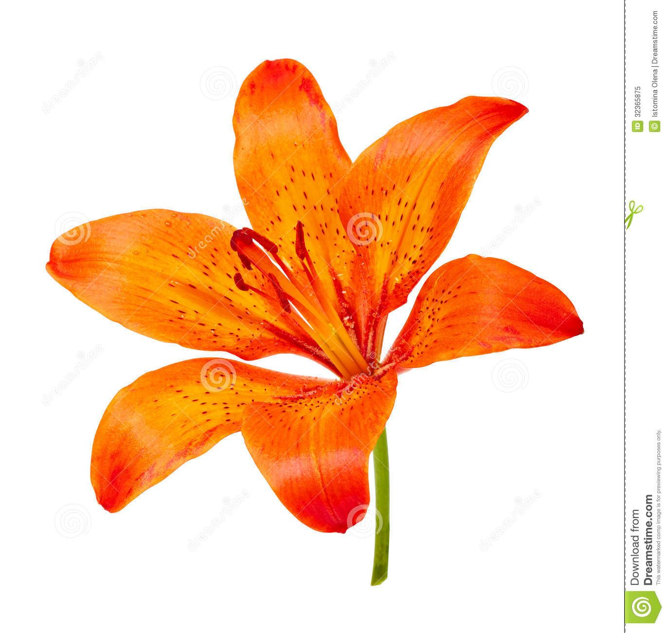 Free download Orange Tiger Lily Clipart for your creation.