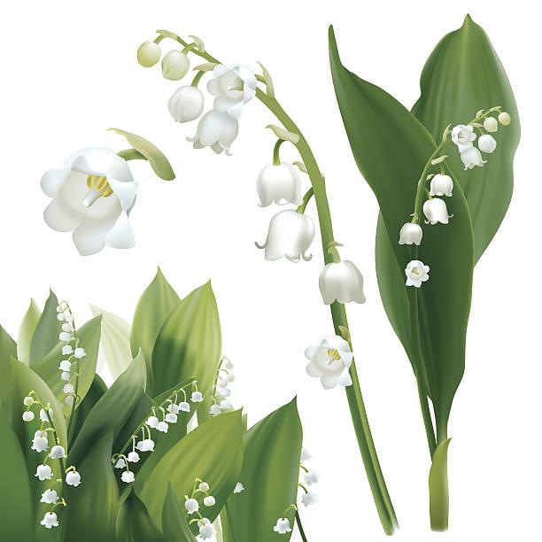 Convallaria majalis - Lilly of the valley. vector art illustration