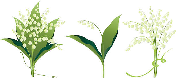 Lily of the valley flowers variations vector art illustration