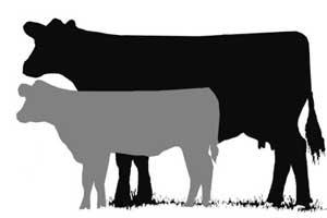 Livestock Show Clip Art Beef Cow Longevity Series Set