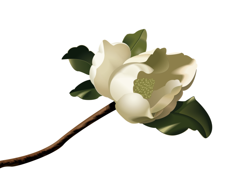 Magnolia flower Royalty Free