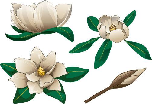Magnolia Clipart-Magnolia Clipart-5