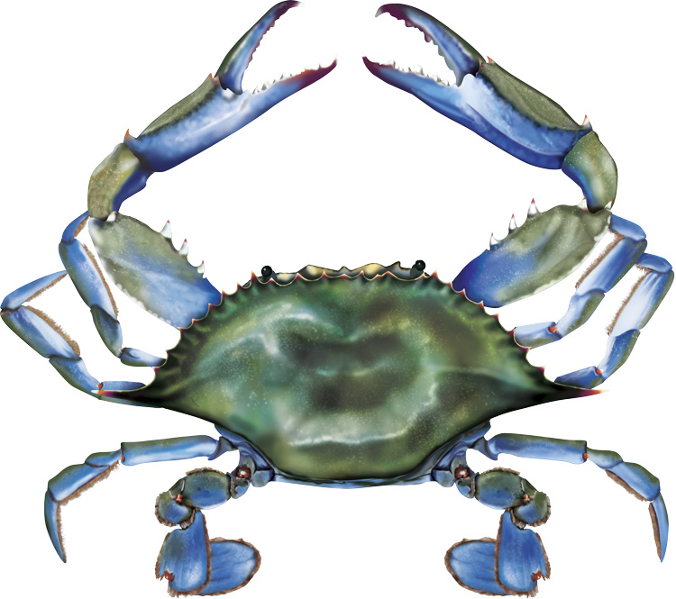 Maryland Blue Crab Clip Art - Blue Crab Clipart
