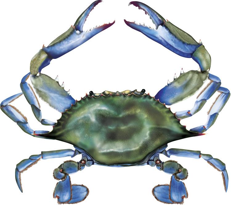 Maryland Blue Crab Clip Art