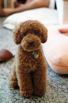 Miniature Poodle Teddy Bear Cut - Yahoo -miniature poodle teddy bear cut - Yahoo Search Results-3