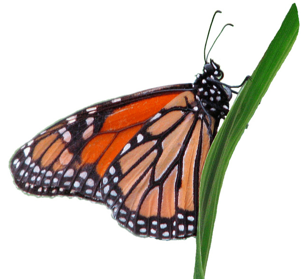 Monarch Butterfly Clip Art Clipart Free -Monarch butterfly clip art clipart free to use resource-15