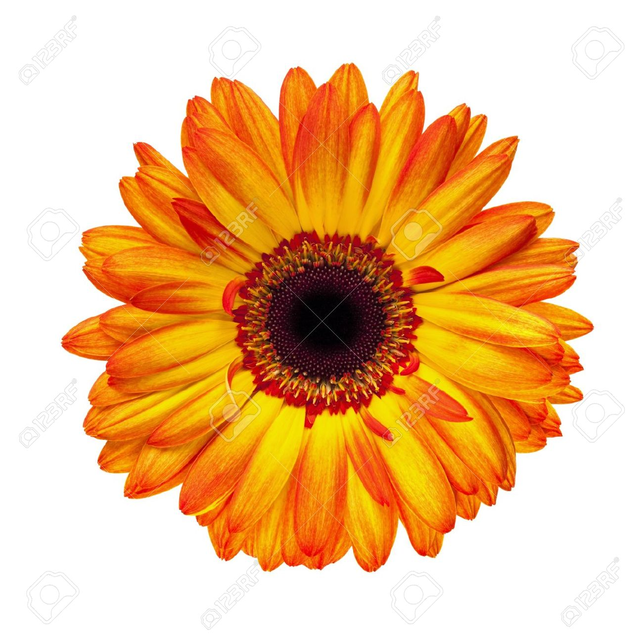 Orange Gerber Daisy Clip Art