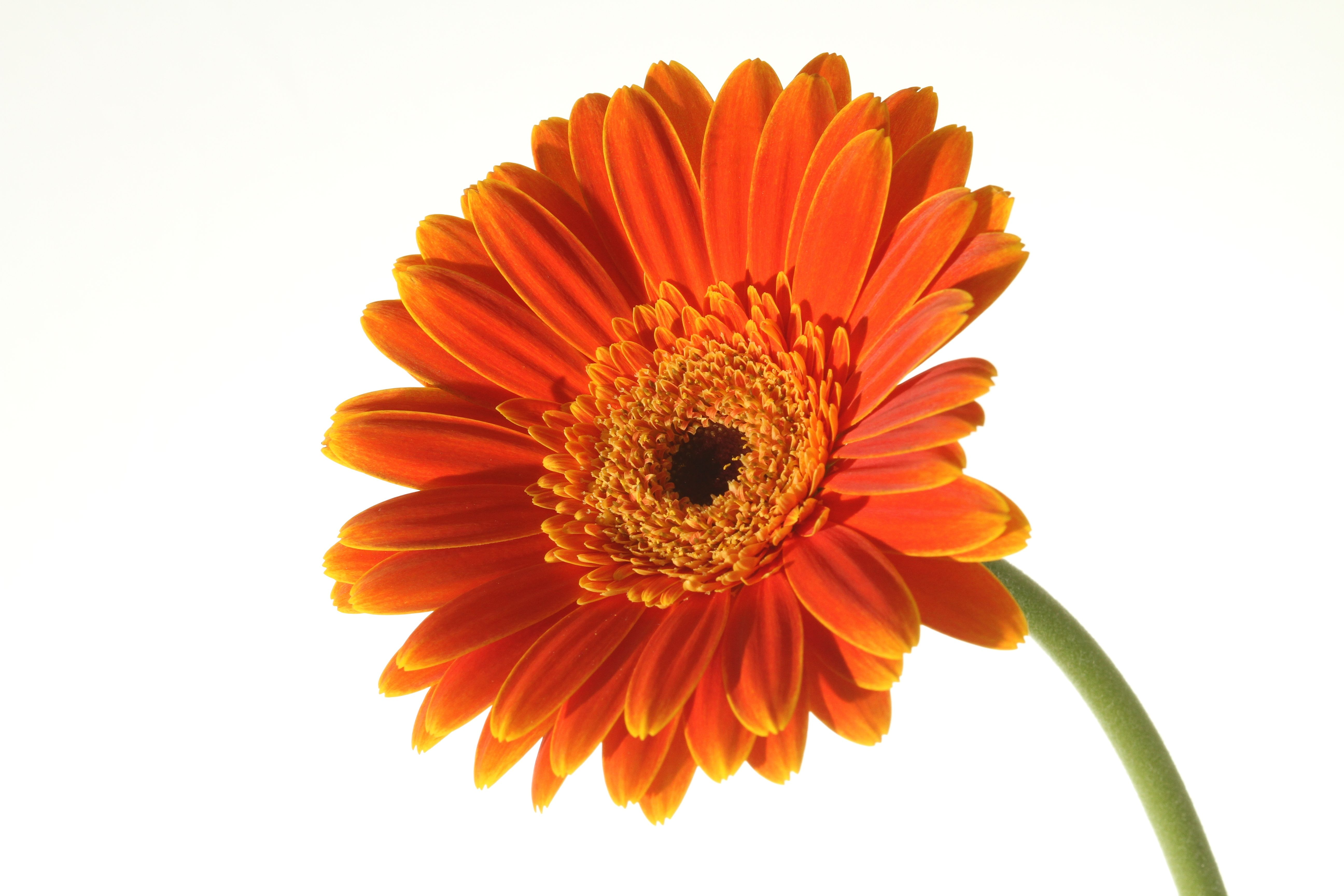 Orange Gerber Daisy Clip Art-Orange Gerber Daisy Clip Art-14
