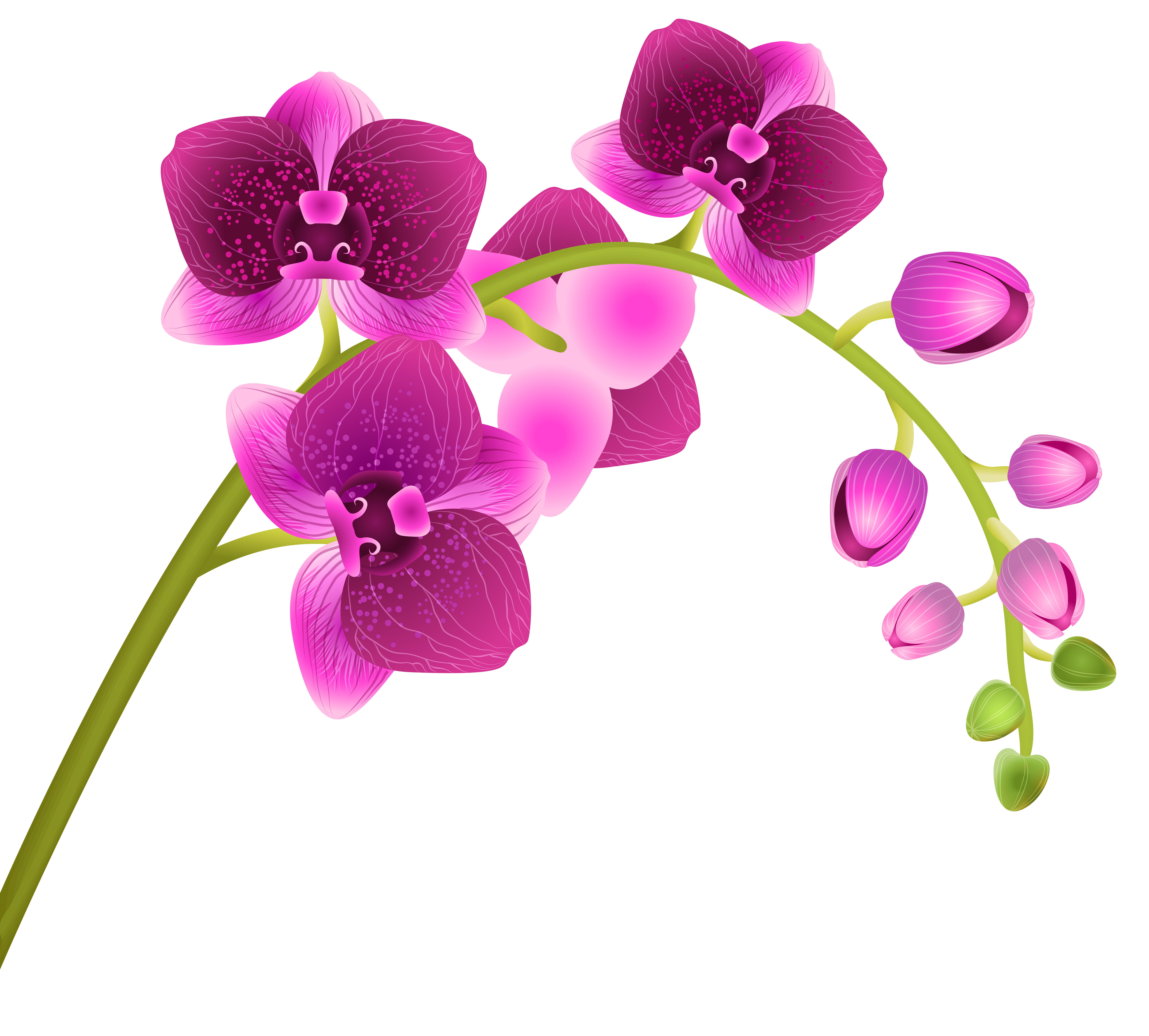 Orchid Flower Transparent PNG .