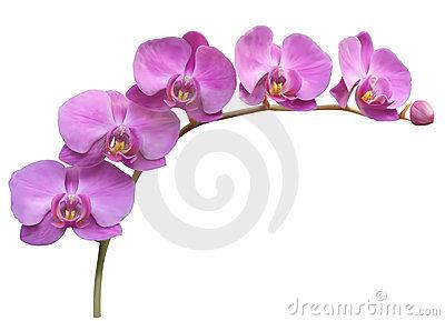 Orchid Stock Illustrations u2013 9,777 Orchid Stock Illustrations, Vectors u0026amp; Clipart - Dreamstime