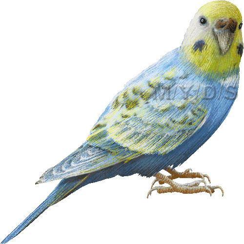 Parakeet, Budgie Clipart .-Parakeet, Budgie clipart .-5
