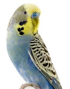 Parakeet-parakeet-13