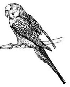 Parakeet-parakeet-14