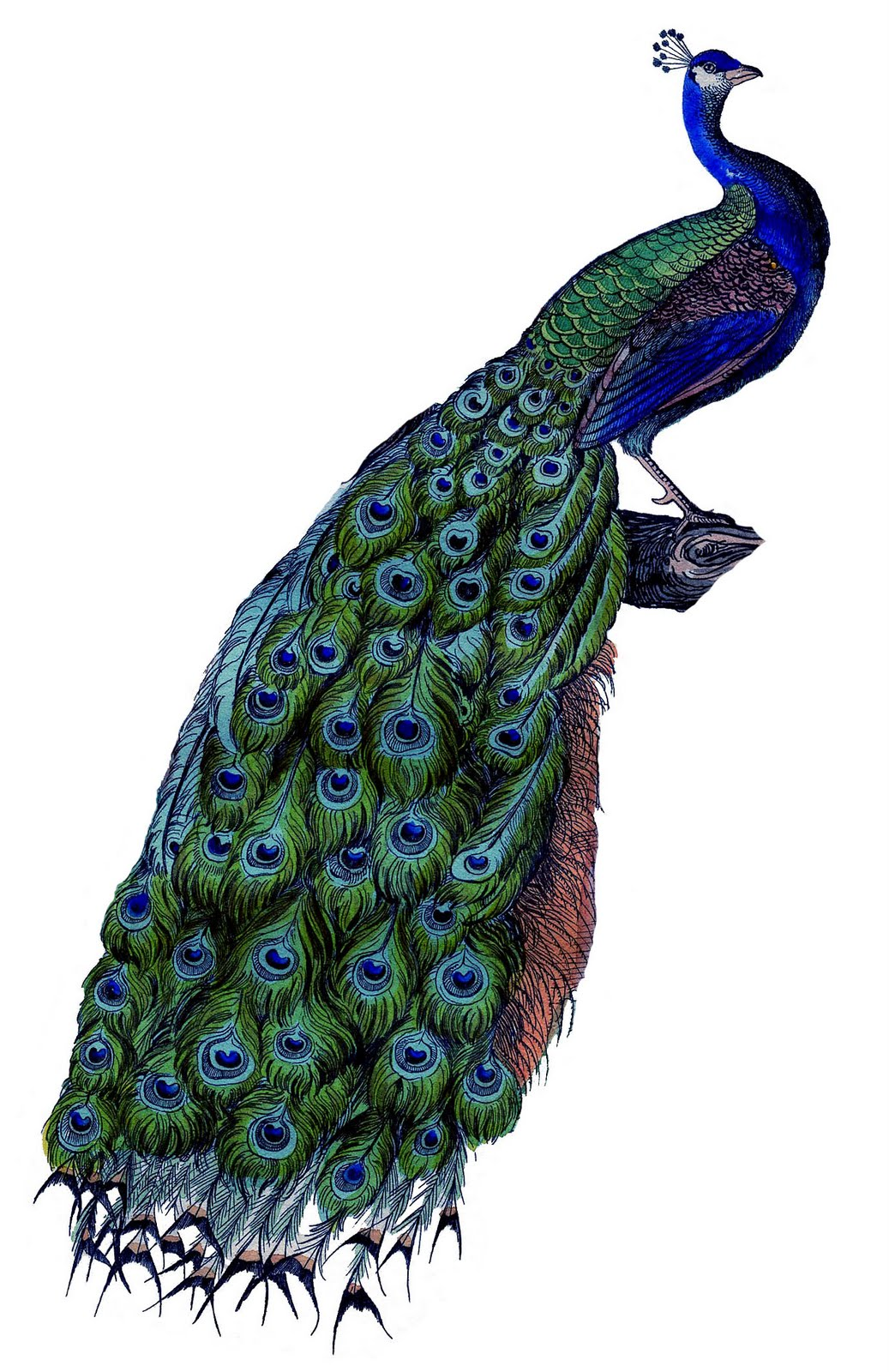Peacock Clipart Free   Clipart library - Free Clipart Images