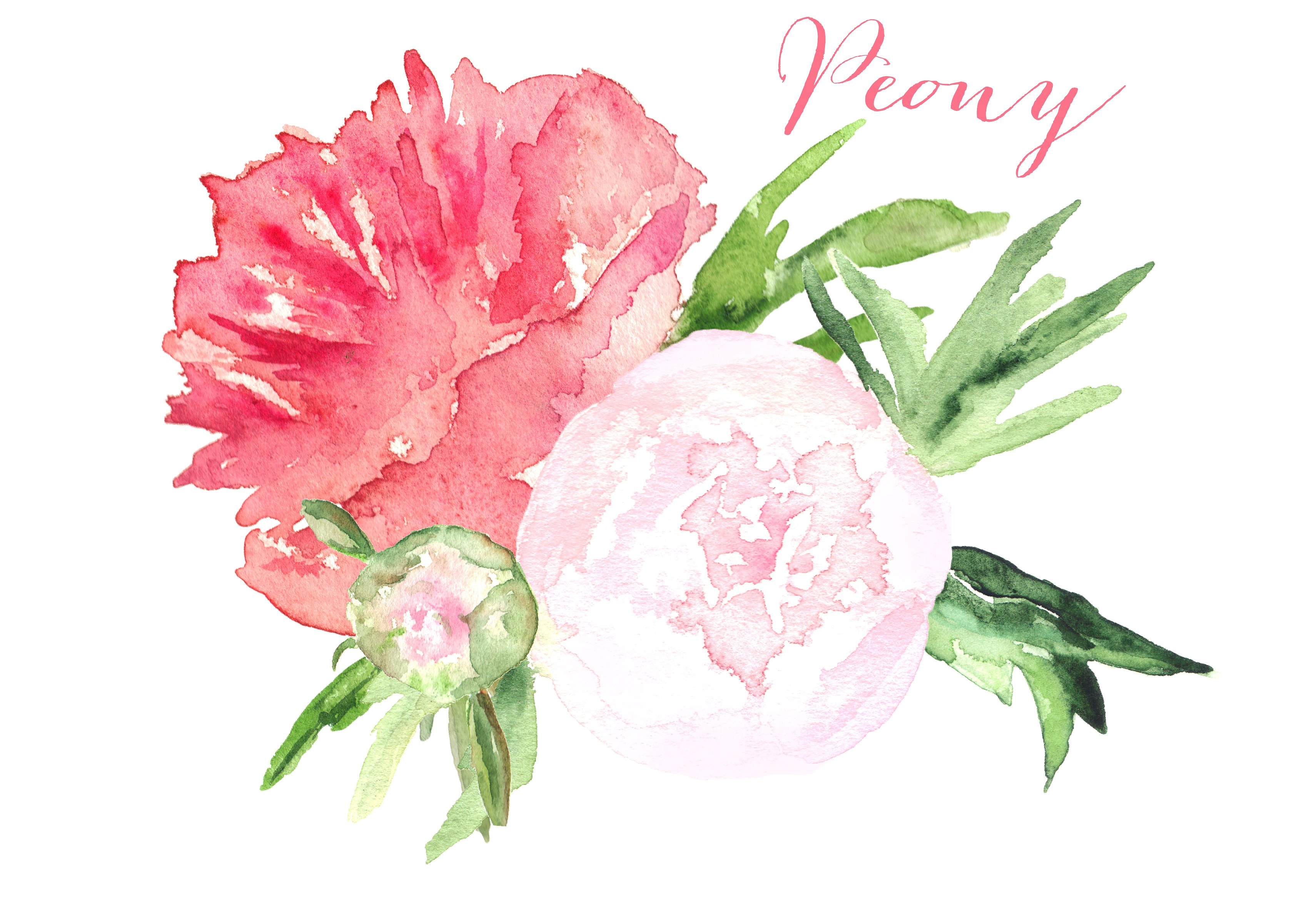 Watercolor peony. Clipart look at clip
