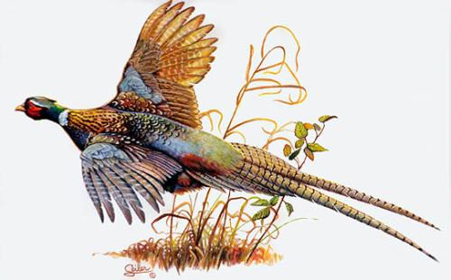 Pheasant Clipart-Pheasant clipart-13