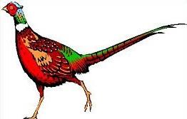 Pheasant-Pheasant-16