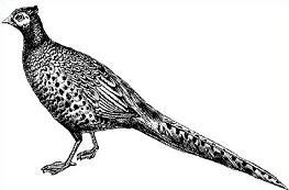Pheasant-Pheasant-17