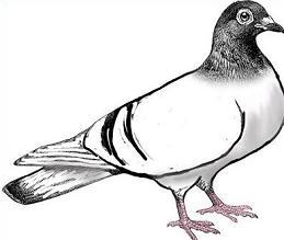 Pigeon-Pigeon-9