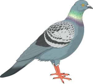 Pigeon-Pigeon-16