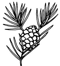 pine clipart - Pine Cone Clipart