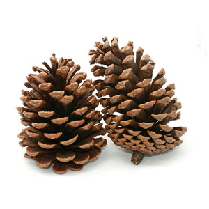 Pine Cone Photos (Clip Art ..-Pine Cone Photos (Clip Art ..-11