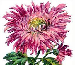 Pink chrysanthemum - Chrysanthemum Clip Art
