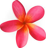 Pink Plumeria Flower Isolated On White Royalty Free Clip Art