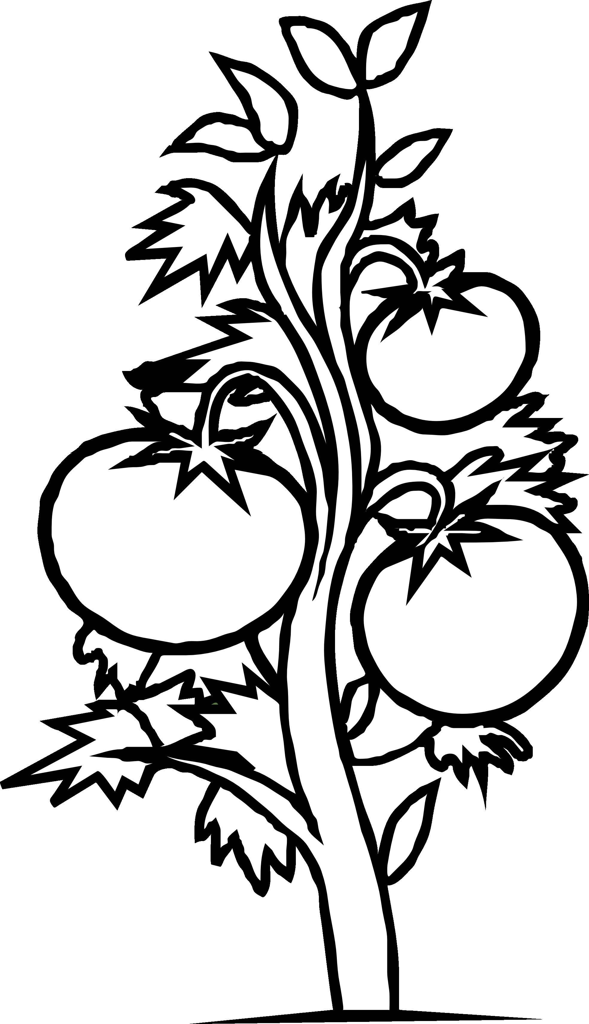Plant Clipart Black And White Tomato Pla-Plant Clipart Black And White Tomato Plant Black White Line Art-13