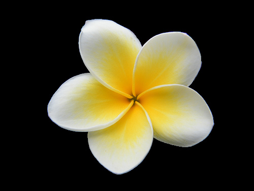 Plumeria Free Images At Clker Com Vector Clip Art Online Royalty