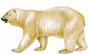 Polar-Bear-Polar-Bear-12