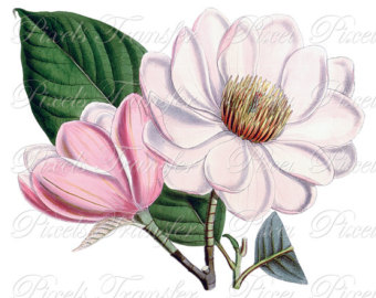 Popular Items For Magnolia Cl - Magnolia Clipart