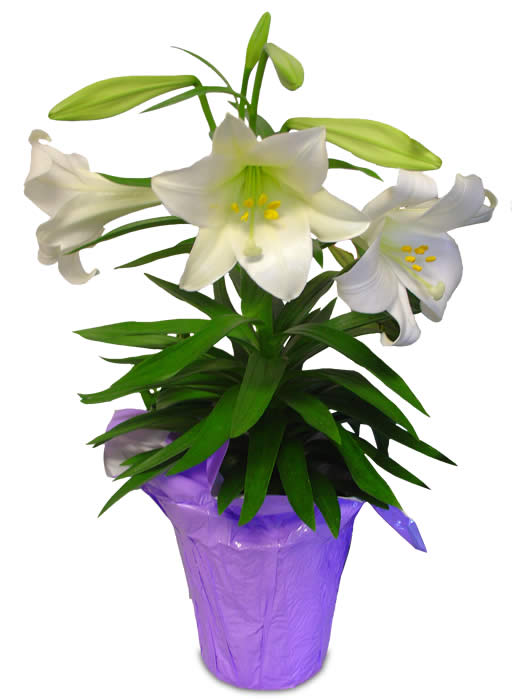 Potted Easter Lilies Clipart