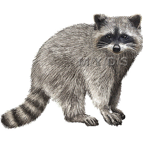 Raccoon clipart 5 - Raccoon Clip Art