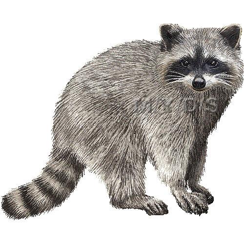 Raccoon clipart 5