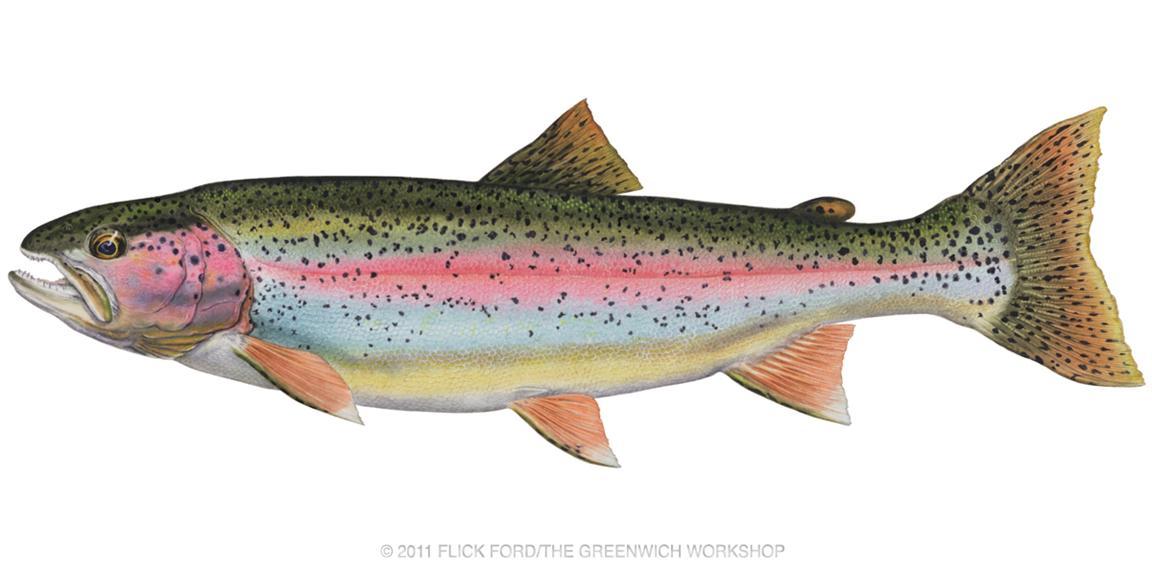 Rainbow Trout Clip .-Rainbow Trout Clip .-7