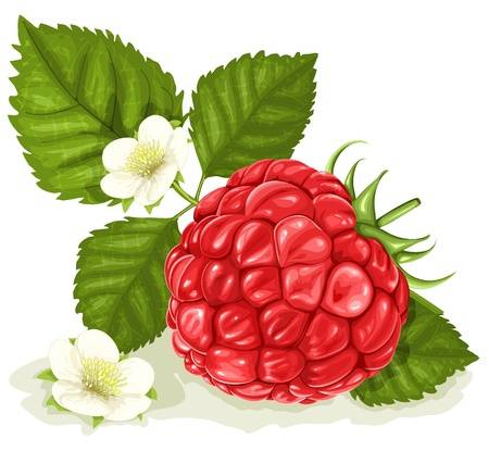 Vector illustration of raspberry with leaves and flowers.
