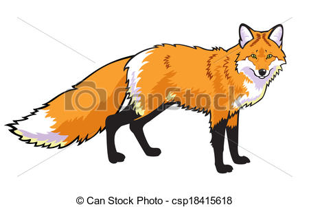 red fox - standing red fox isolated on white background .