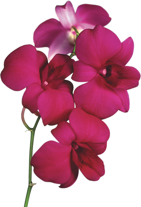 Red Orchid PNG Clipart