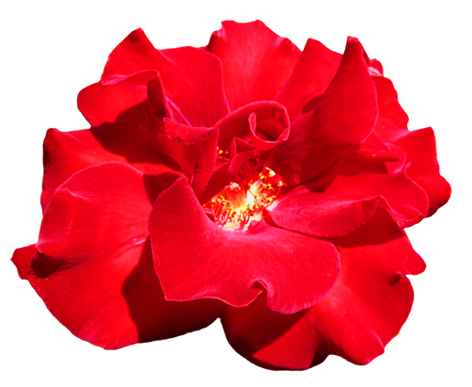 ... Red Valentine Rose Clipart-... Red Valentine Rose clipart-11