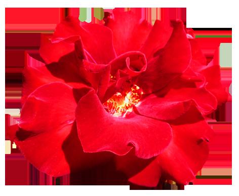 ... Red Valentine Rose clipart