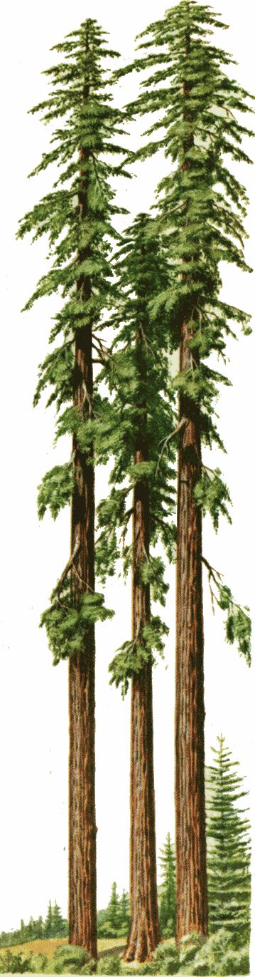 Redwood Trees of California