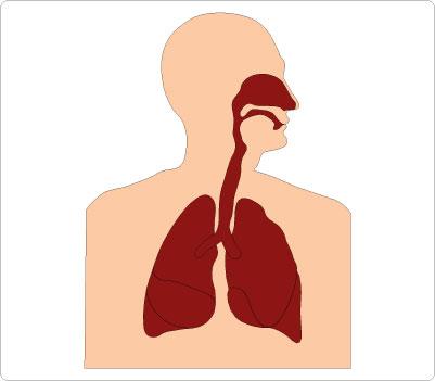 Respiratory System Clip Art
