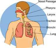 respiratory-system-lungs-bronchi-trachea-clipart-7116. Respiratory system lungs bronchi trachea clipart. Size: 101 Kb From: Anatomy