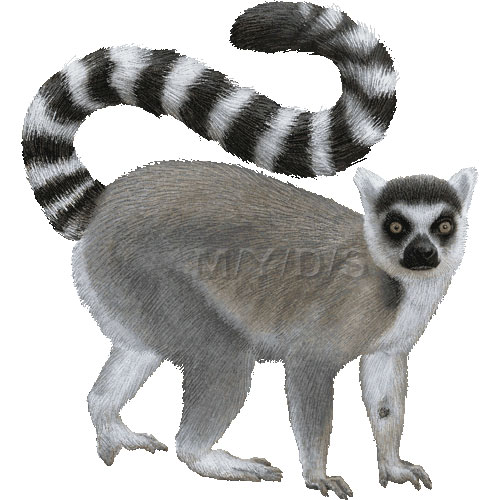 Ring Tailed Lemurs Clipart Picture Large