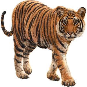 royal bengal tiger clipart graphics (free clip art